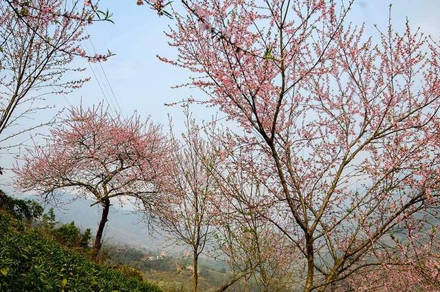 Hoa đào núi Tây Bắc khoe sắc hồng tuyệt đẹp trong nắng xuân - 6