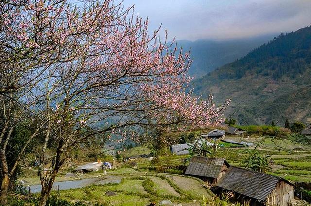 Hoa đào núi Tây Bắc khoe sắc hồng tuyệt đẹp trong nắng xuân - 3
