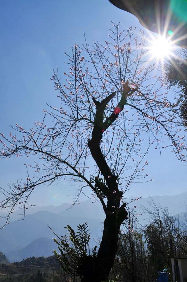 Hoa đào núi Tây Bắc khoe sắc hồng tuyệt đẹp trong nắng xuân - 4