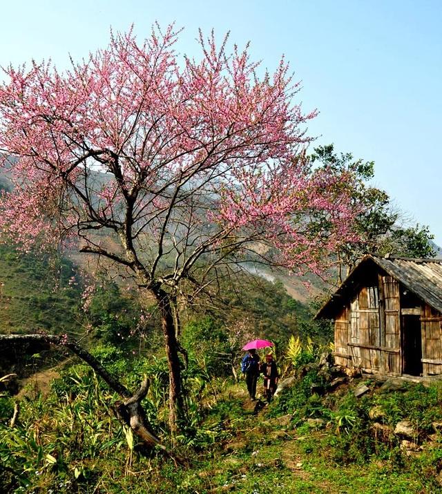 Hoa đào núi Tây Bắc khoe sắc hồng tuyệt đẹp trong nắng xuân - 1