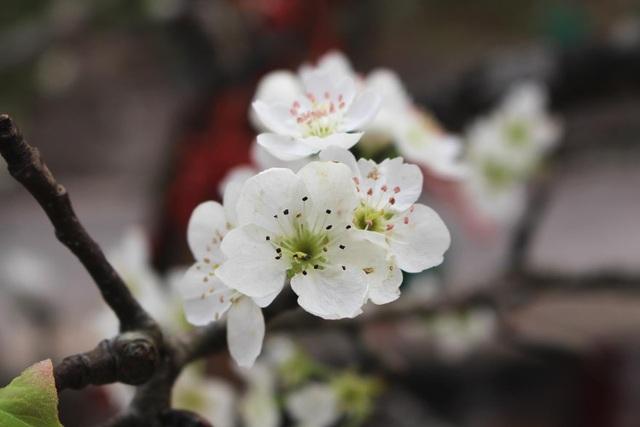 Đào phai, mai tàn, dân Hà Nội đổ xô đi mua hoa lê rừng - 1