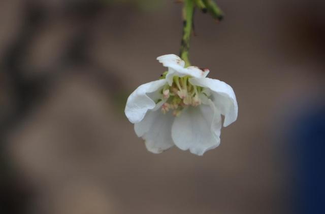 Đào phai, mai tàn, dân Hà Nội đổ xô đi mua hoa lê rừng - 4