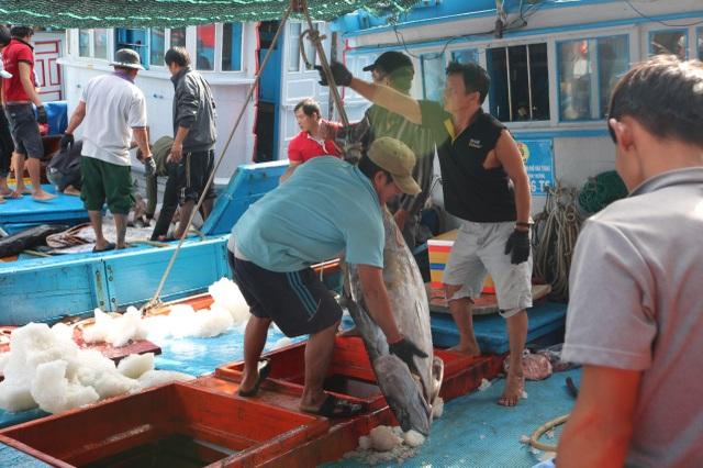 Cá ngừ đại dương mất giá sau Tết nguyên đán, ngư dân khốn đốn - 1