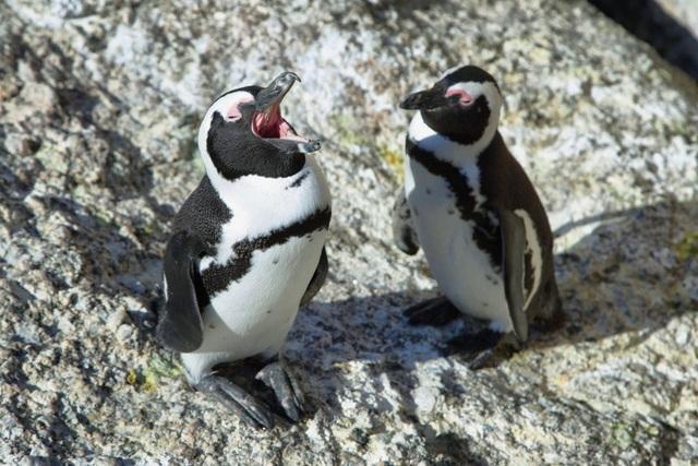 """Chim cánh cụt jackass có """"quy tắc ngôn ngữ"""" giống… loài người - 1"""