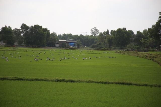 Ngắm đàn chim quý hàng ngàn con đậu trắng đồng lúa - 8