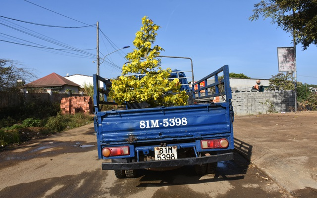 Gia Lai: Nhà vườn rộn ràng vào vụ trồng hoa mai sau Tết - 1
