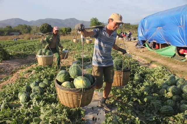 Gia Lai: Hàng chục tấn dưa hấu được giải cứu với giá cao - 4