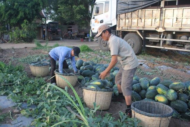 Gia Lai: Hàng chục tấn dưa hấu được giải cứu với giá cao - 3
