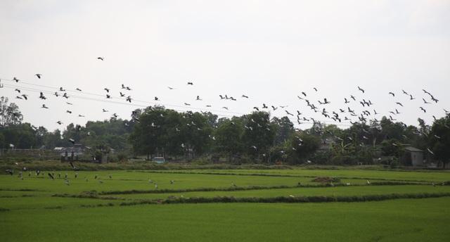 Ngắm đàn chim quý hàng ngàn con đậu trắng đồng lúa - 10
