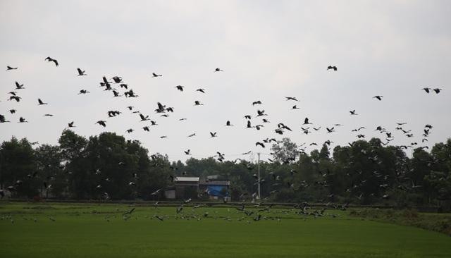 Ngắm đàn chim quý hàng ngàn con đậu trắng đồng lúa - 11