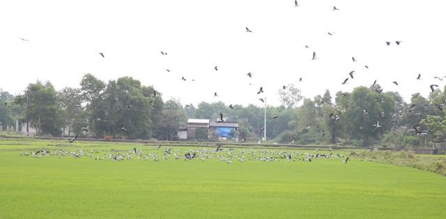 Ngắm đàn chim quý hàng ngàn con đậu trắng đồng lúa - 5
