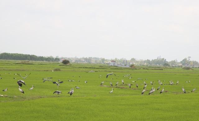 Ngắm đàn chim quý hàng ngàn con đậu trắng đồng lúa - 6