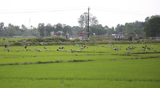 Ngắm đàn chim quý hàng ngàn con đậu trắng đồng lúa - 7