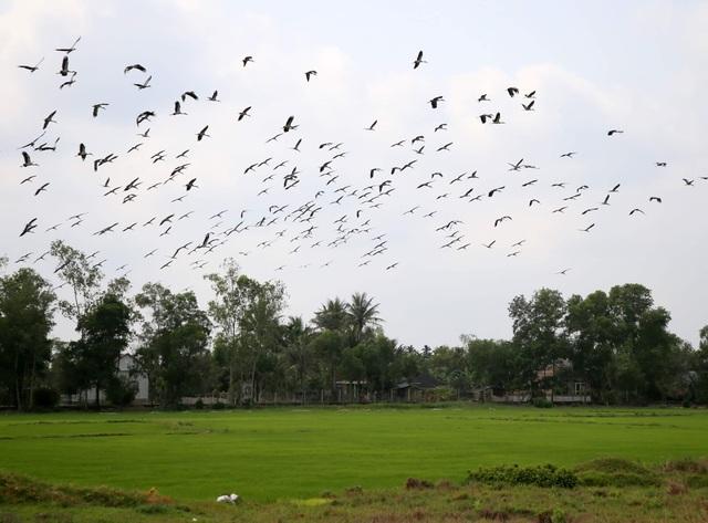 Ngắm đàn chim quý hàng ngàn con đậu trắng đồng lúa - 4