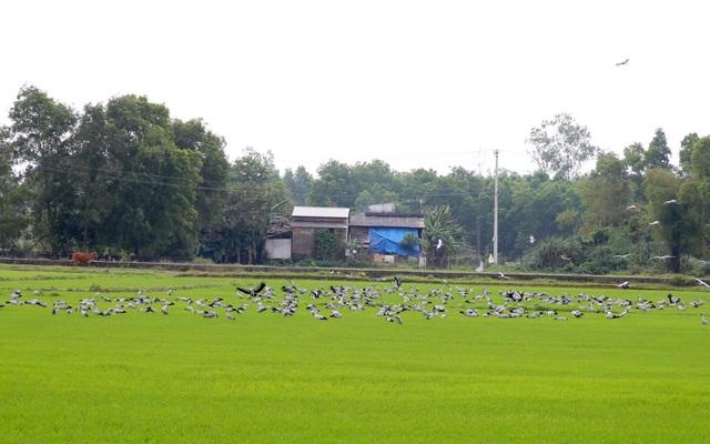 Ngắm đàn chim quý hàng ngàn con đậu trắng đồng lúa - 1