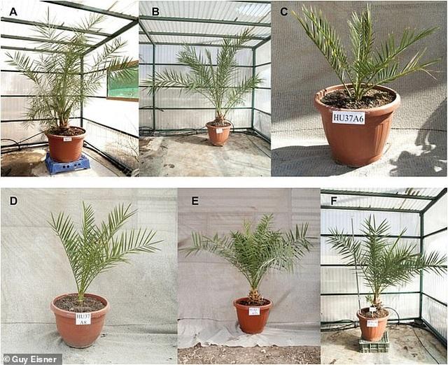 Trồng thành công cây chà là từ hạt giống 2000 năm tuổi - 1