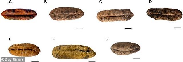 Trồng thành công cây chà là từ hạt giống 2000 năm tuổi - 2