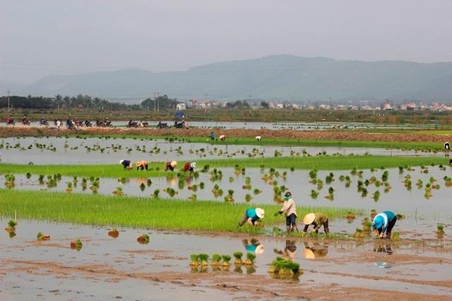 Quảng Bình: Ra Tết, bỏ 200.000 đồng/ngày thuê người đi cấy lúa - 1