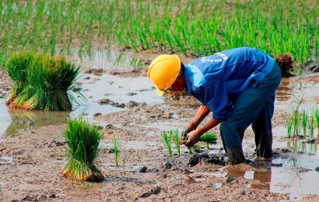 Quảng Bình: Ra Tết, bỏ 200.000 đồng/ngày thuê người đi cấy lúa - 3