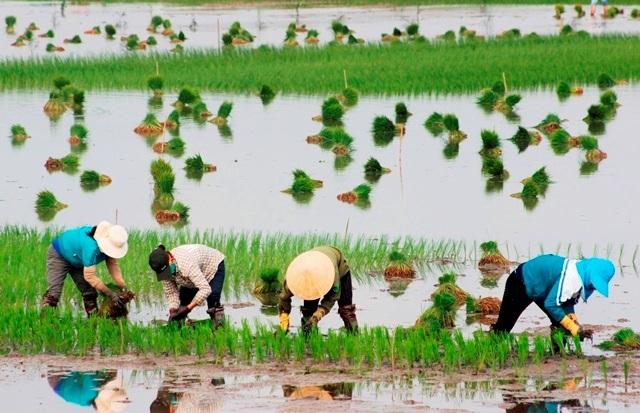 Quảng Bình: Ra Tết, bỏ 200.000 đồng/ngày thuê người đi cấy lúa - 4
