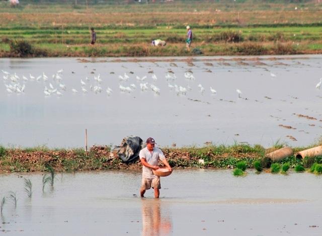 Quảng Bình: Ra Tết, bỏ 200.000 đồng/ngày thuê người đi cấy lúa - 5