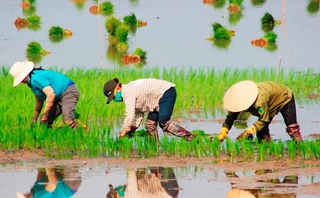 Quảng Bình: Ra Tết, bỏ 200.000 đồng/ngày thuê người đi cấy lúa - 6