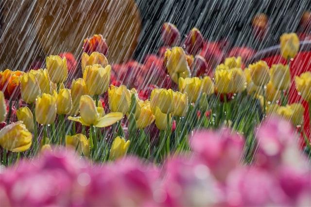 Valentine ngọt như mật tại thiên đường tulip Sun World Ba Na Hills - 2