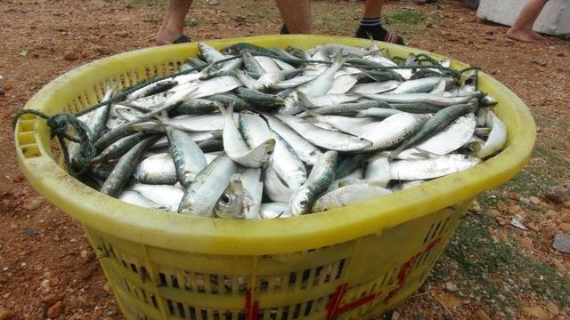 Ngư dân Quảng Bình trúng đậm cá trích ngày mở biển - 6