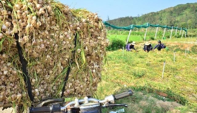 Quảng Ngãi: Ngăn chặn tỏi từ đất liền ra đảo khoác áo tỏi Lý Sơn - 2