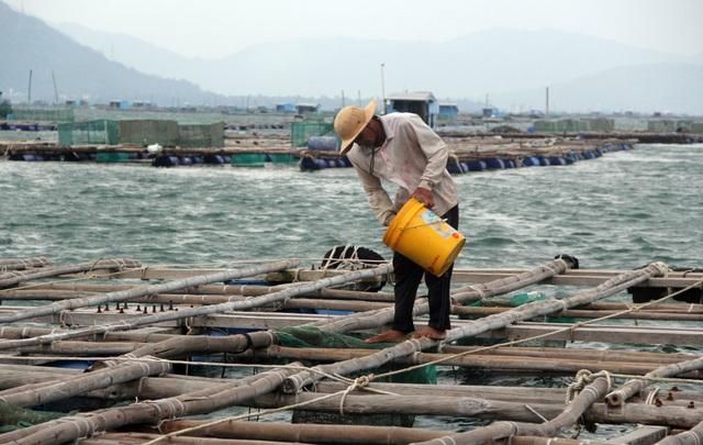 Điêu đứng vì vắng thương lái mua tôm hùm xuất sang Trung Quốc - 4