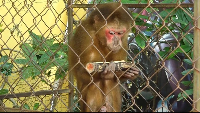Tự nguyện giao nộp khỉ quý hiếm để thả về tự nhiên - 2