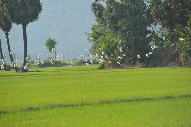 Chiêm ngưỡng đàn cò nhạn quý hiếm ở vùng Bảy Núi An Giang - 14