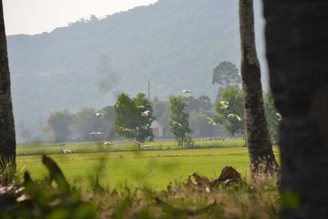 Chiêm ngưỡng đàn cò nhạn quý hiếm ở vùng Bảy Núi An Giang - 17