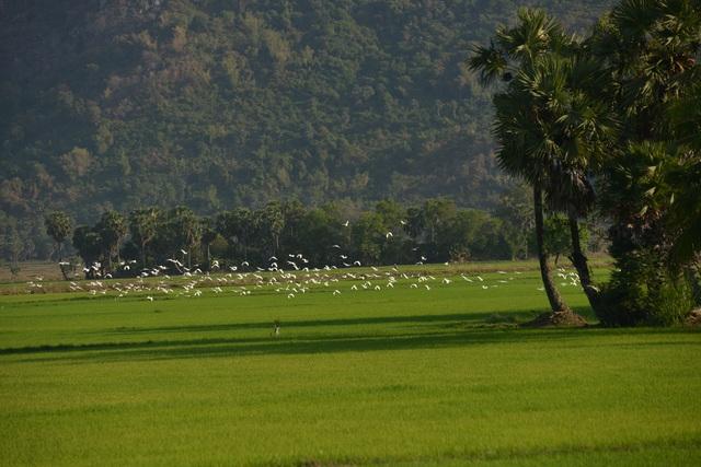 Chiêm ngưỡng đàn cò nhạn quý hiếm ở vùng Bảy Núi An Giang - 5