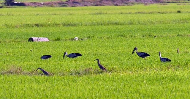 Chiêm ngưỡng đàn cò nhạn quý hiếm ở vùng Bảy Núi An Giang - 6