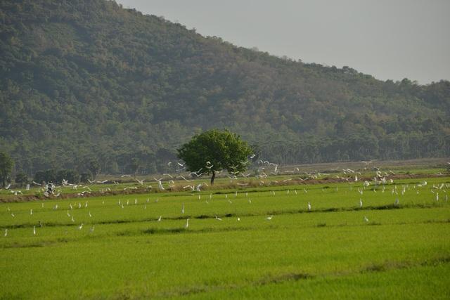 Chiêm ngưỡng đàn cò nhạn quý hiếm ở vùng Bảy Núi An Giang - 15