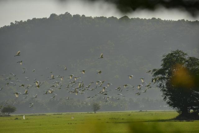 Chiêm ngưỡng đàn cò nhạn quý hiếm ở vùng Bảy Núi An Giang - 2