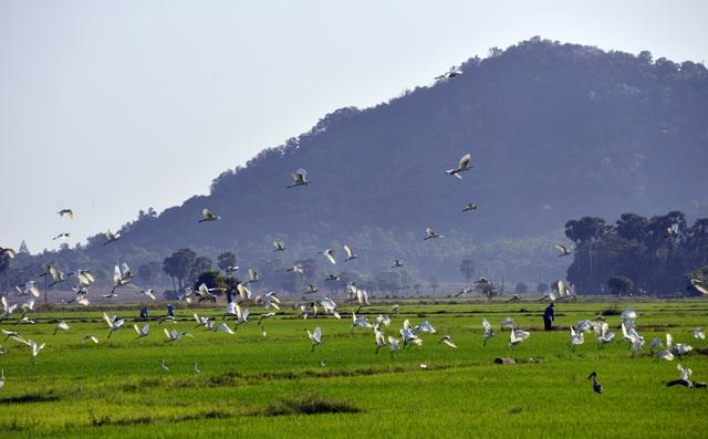 Chiêm ngưỡng đàn cò nhạn quý hiếm ở vùng Bảy Núi An Giang - 1
