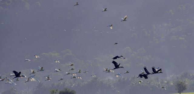 Chiêm ngưỡng đàn cò nhạn quý hiếm ở vùng Bảy Núi An Giang - 3