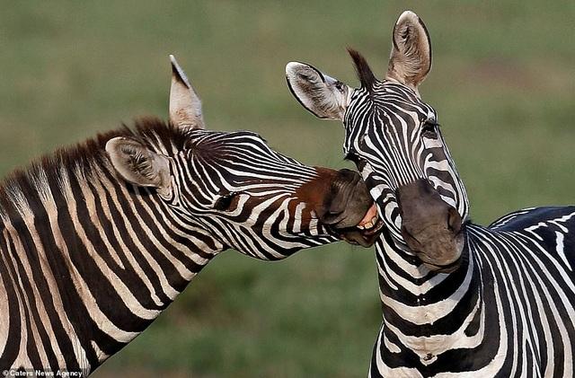 Mỉm cười trước những khoảnh khắc âu yếm trong thế giới động vật - 5