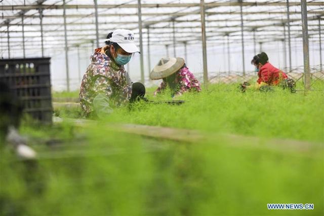 Người Trung Quốc quay trở lại việc đồng áng giữa tâm bão virus corona - 2