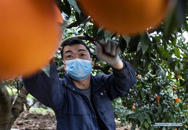 Người Trung Quốc quay trở lại việc đồng áng giữa tâm bão virus corona - 3