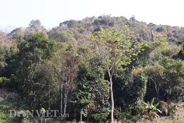 20 năm trước chôn những cây vàng trên núi, giờ giàu số 1 vùng - 6