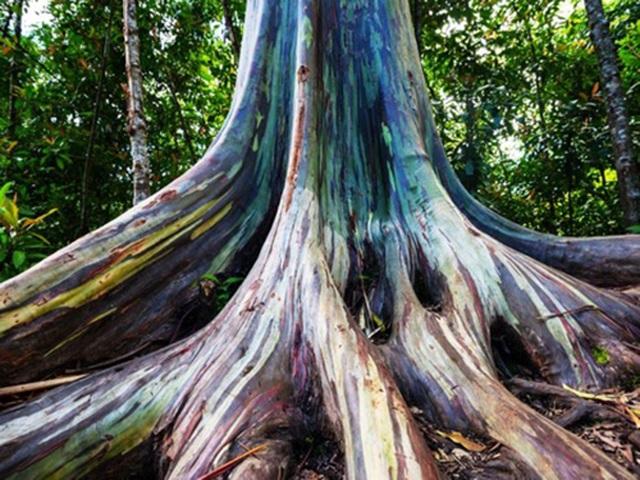 Gia tăng du khách tới Hawaii ngắm cầu vồng trên cây - 3