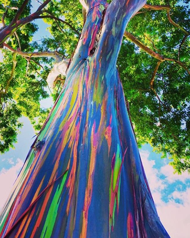 Gia tăng du khách tới Hawaii ngắm cầu vồng trên cây - 4