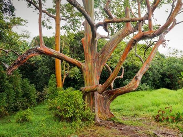 Gia tăng du khách tới Hawaii ngắm cầu vồng trên cây - 6