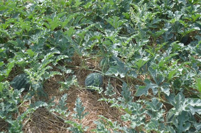 """""""Né"""" hạn mặn trong mùa khô, dân trồng cây phù hợp cho thu nhập cao - 2"""