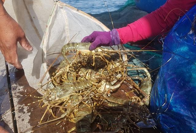 Tôm hùm xanh rớt giá chưa từng thấy, tại Khánh Hòa còn 600 ngàn đồng/kg - 2
