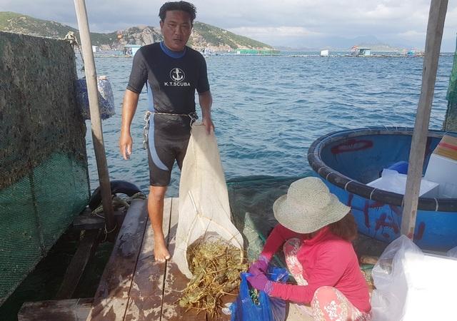 Tôm hùm xanh rớt giá chưa từng thấy, tại Khánh Hòa còn 600 ngàn đồng/kg - 4