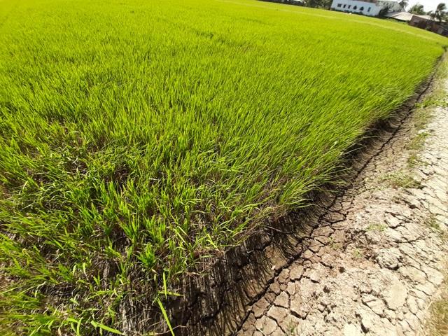 Thiếu nước ngọt, dân đánh liều bơm nước nhiễm mặn… cứu lúa - 2